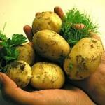 Kartoffeln: Die tolle Knolle als ideale Sportnahrung